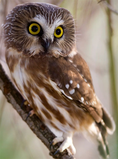Northern Saw-whet Owl - Bird Species | Frinvelis jishebi | ფრინველის ჯიშები