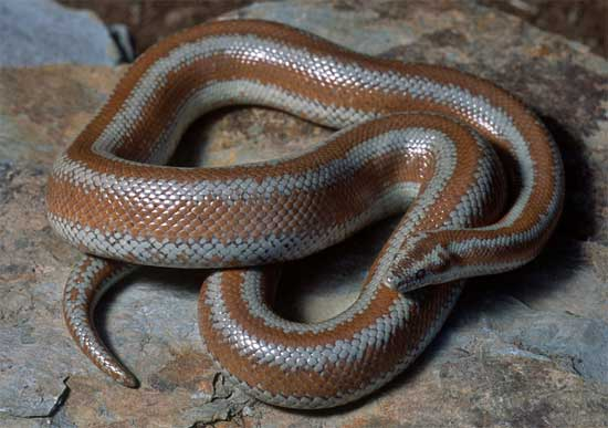 Lichanura orcutti - Northern Three-lined Boa - snake species | gveli | გველი