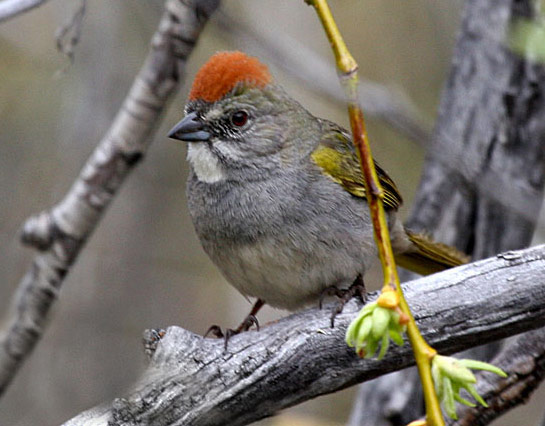 Green-tailed Towhee - Bird Species | Frinvelis jishebi | ფრინველის ჯიშები
