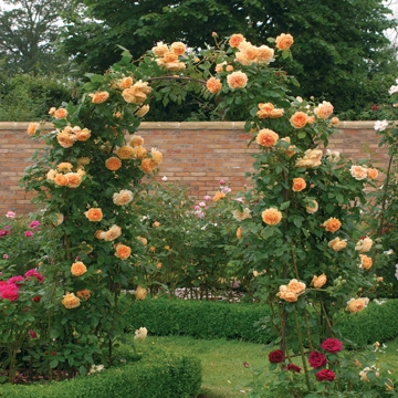 Crown Princess Margareta Climbing - Rose Varieties | VARDI | ვარდი
