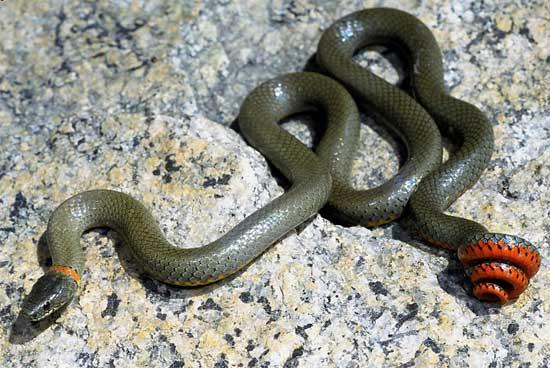 snake species diadophis punctatus modestus san
