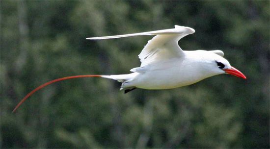 Red-tailed Tropicbird - Bird Species | Frinvelis jishebi | ფრინველის ჯიშები