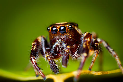 Bronze Jumping Spider - Spider species | OBOBAS JISHEBI | ობობას ჯიშები