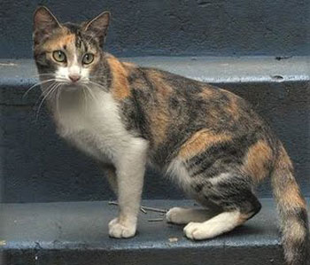 Cat Breeds Brazilian Shorthair