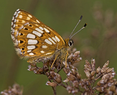 D of B Fritillary - Butterfly species | PEPLIS JISHEBI | პეპლის ჯიშები