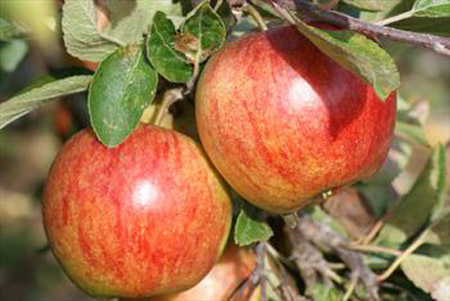 Ellison's Orange - Apple Varieties