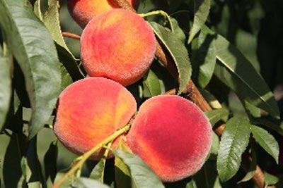 Sweet-N-Up - Peach Varieties