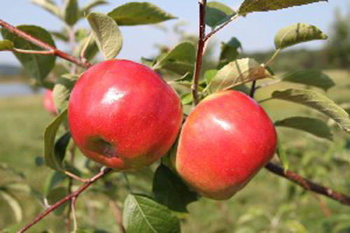 Cortland - Apple Varieties