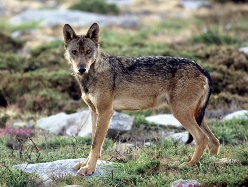 The Southern Rocky Mountain Wolf - wolf species | mglis jishebi | მგლის ჯიშები