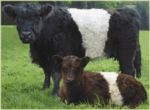 Cow Breeds Galloway