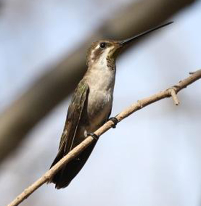 Plain-capped Starthroat - Bird Species | Frinvelis jishebi | ფრინველის ჯიშები