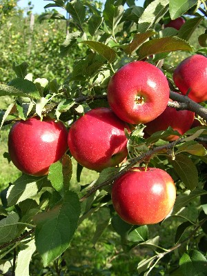 CrimsonCrisp - Apple Varieties