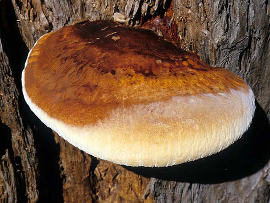 Ganoderma oregonense  - Fungi species | sokos jishebi | სოკოს ჯიშები