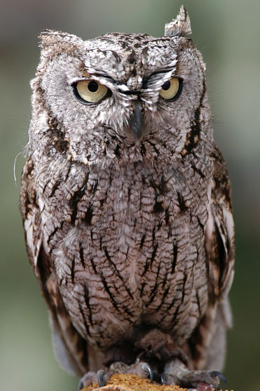 Whiskered Screech-Owl - Bird Species | Frinvelis jishebi | ფრინველის ჯიშები