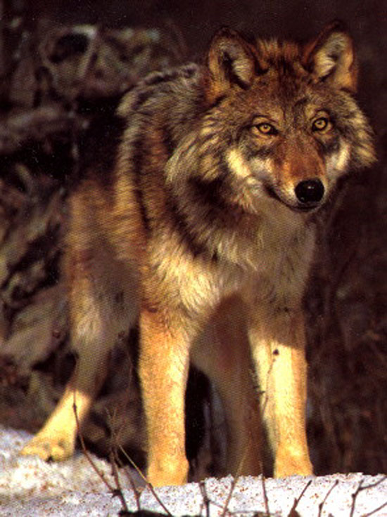 The North American Red Wolf - wolf species | mglis jishebi | მგლის ჯიშები