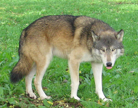 The Great Plains Wolf - wolf species | mglis jishebi | მგლის ჯიშები