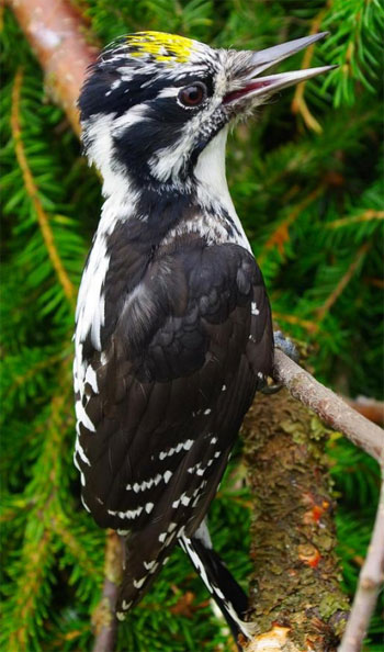 American Three-toed Woodpecker - Bird Species | Frinvelis jishebi | ფრინველის ჯიშები