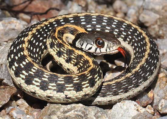 BLACK-NECKED GARTERSNAKE  <br />Thamnophis cyrtopsis	 - snake species | gveli | გველი