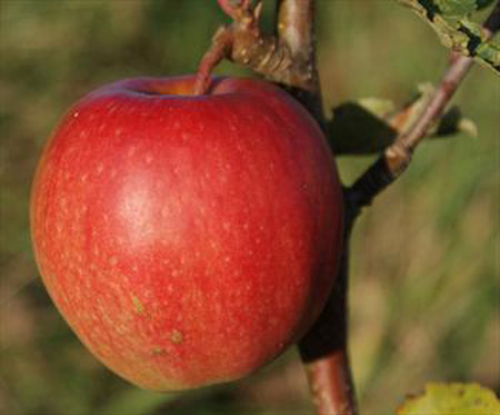 Cripp's Pink - Apple Varieties