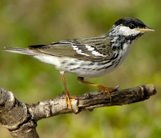Blackpoll Warbler - Bird Species | Frinvelis jishebi | ფრინველის ჯიშები