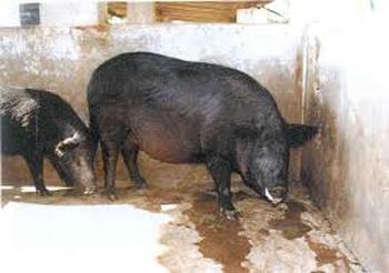 Breeds of Livestock - Mukota Swine — Breeds of Livestock ...