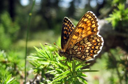 Heath Fritillary - Butterfly species | PEPLIS JISHEBI | პეპლის ჯიშები