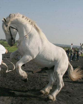 Horse Breeds Boulonnais