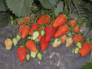 Anitabis - Strawberry Varieties