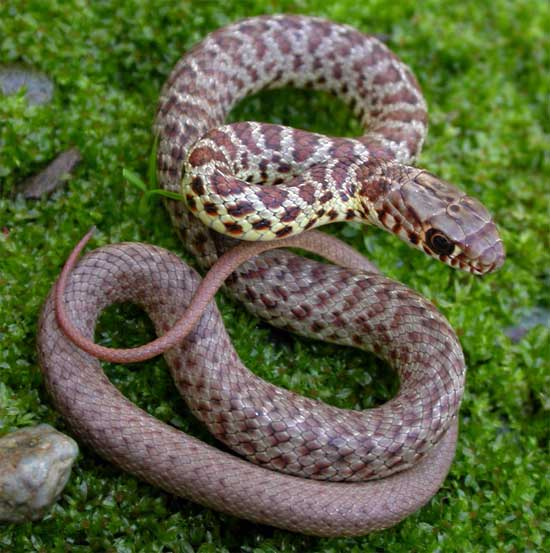 Coluber constrictor mormon - Western Yellow-bellied Racer - snake species | gveli | გველი