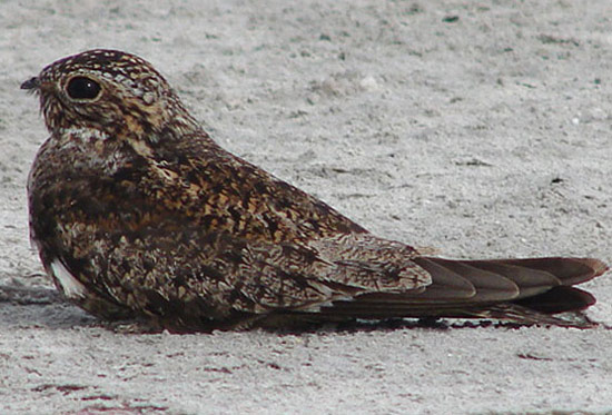 Antillean Nighthawk - Bird Species | Frinvelis jishebi | ფრინველის ჯიშები