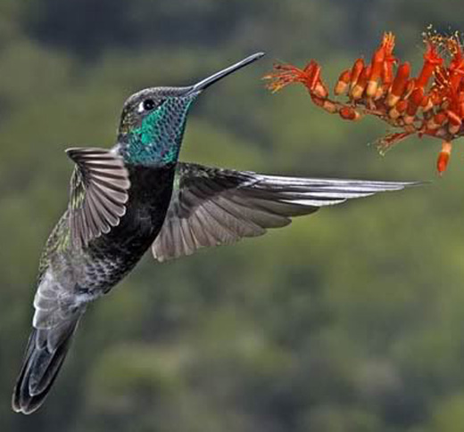 Magnificent Hummingbird - Bird Species | Frinvelis jishebi | ფრინველის ჯიშები
