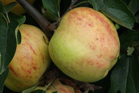 Gravenstein - Apple Varieties