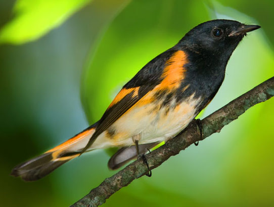 American Redstart - Bird Species | Frinvelis jishebi | ფრინველის ჯიშები