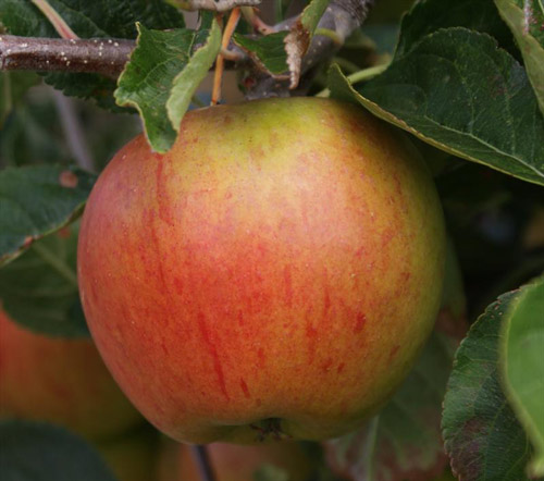 Cox's Orange Pippin - Apple Varieties