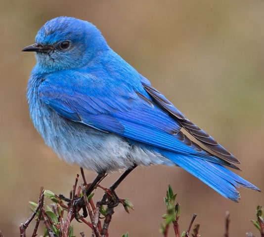 Mountain Bluebird - Bird Species | Frinvelis jishebi | ფრინველის ჯიშები
