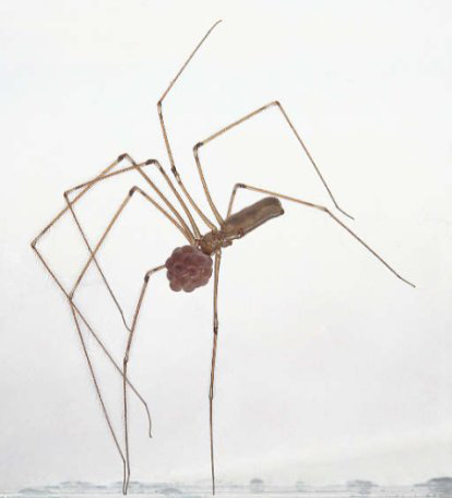 Daddy Long Legs Spider - Spider species | OBOBAS JISHEBI | ობობას ჯიშები