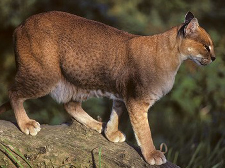 African Golden Cat - wild cats - lynx | ფოცხვერი | focxveri