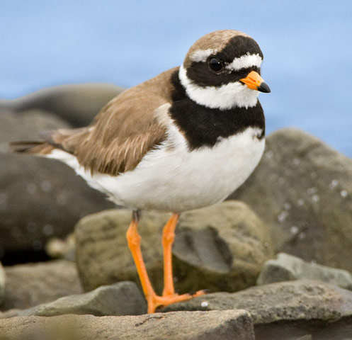 Common Ringed Plover - Bird Species | Frinvelis jishebi | ფრინველის ჯიშები
