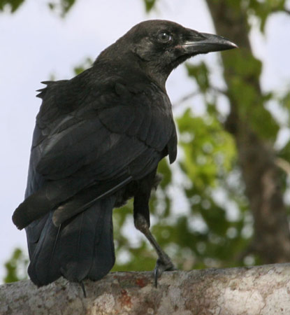 Bird species fish crow for Fish crow call