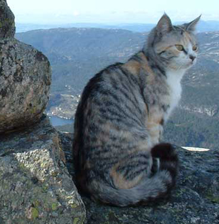 Chinese Mountain Cat - wild cats - lynx | ფოცხვერი | focxveri