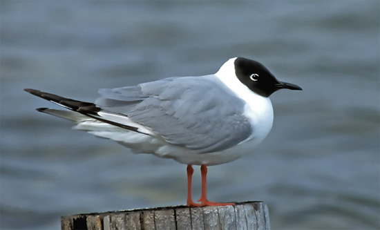 Bonaparte's Gull - Bird Species | Frinvelis jishebi | ფრინველის ჯიშები