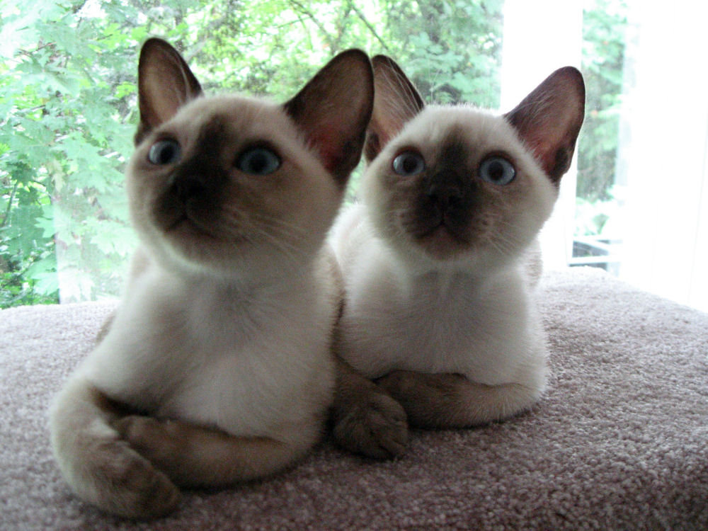 Cat Breeds Tonkinese Information