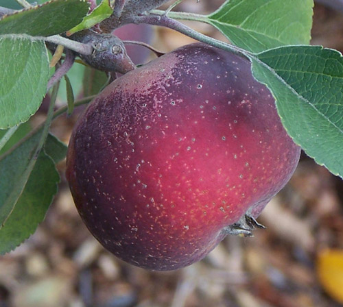 Arkansas Black - Apple Varieties