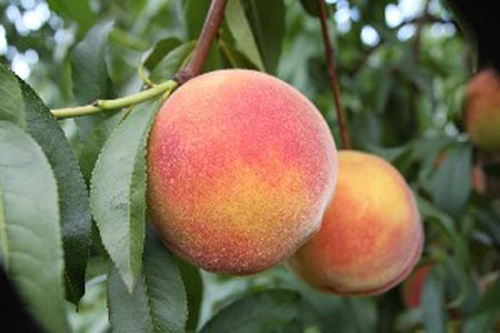 Redskin - Peach Varieties