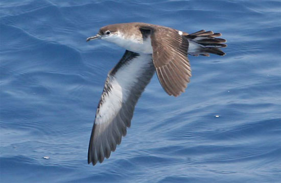 Audubon's Shearwater - Bird Species | Frinvelis jishebi | ფრინველის ჯიშები