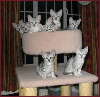 Cat Breeds Egyptian Mau Information