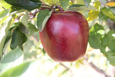 Super Chief Spur Red Delicious - Apple Varieties
