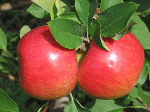 Crimson Topaz - Apple Varieties