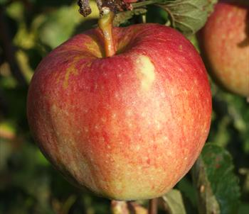 Kidd's Orange Red - Apple Varieties