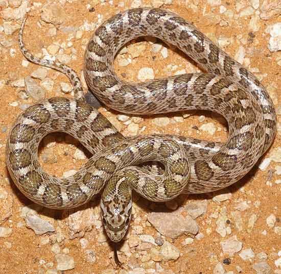 Arizona elegans elegans - Kansas Glossy Snake - snake species   gveli ...